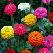 Zinnia elegans - Lilliput mix - 10 grams - Bulk Discounts Apply